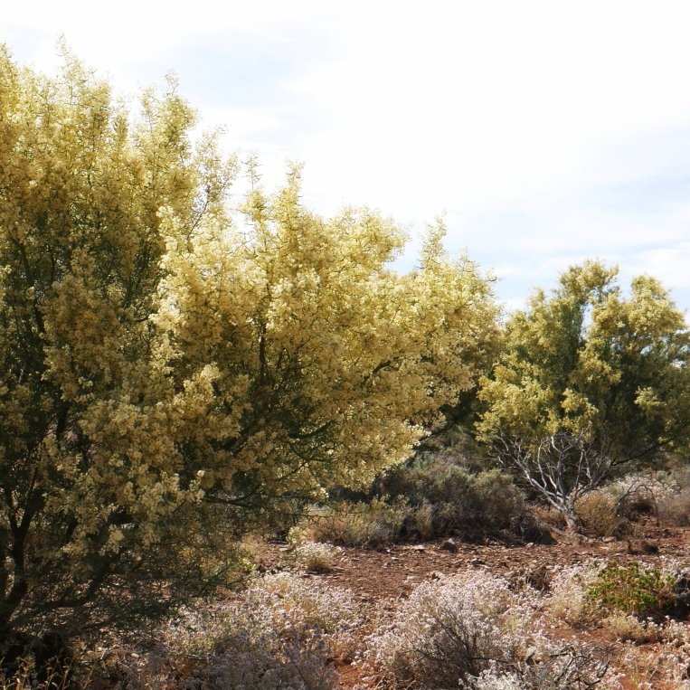 acacia tree 2017