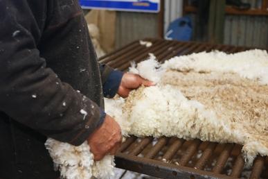 Shearing 2016